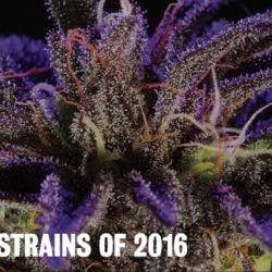 The Top 10 Strains Of 2016 High Times