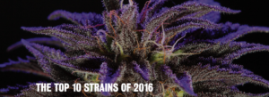 THE TOP 10 STRAINS OF 2016
